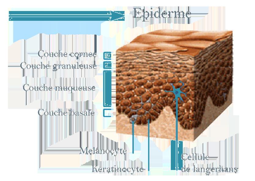 epiderm